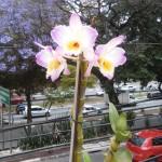 Minha orquídea que está reflorescendo.